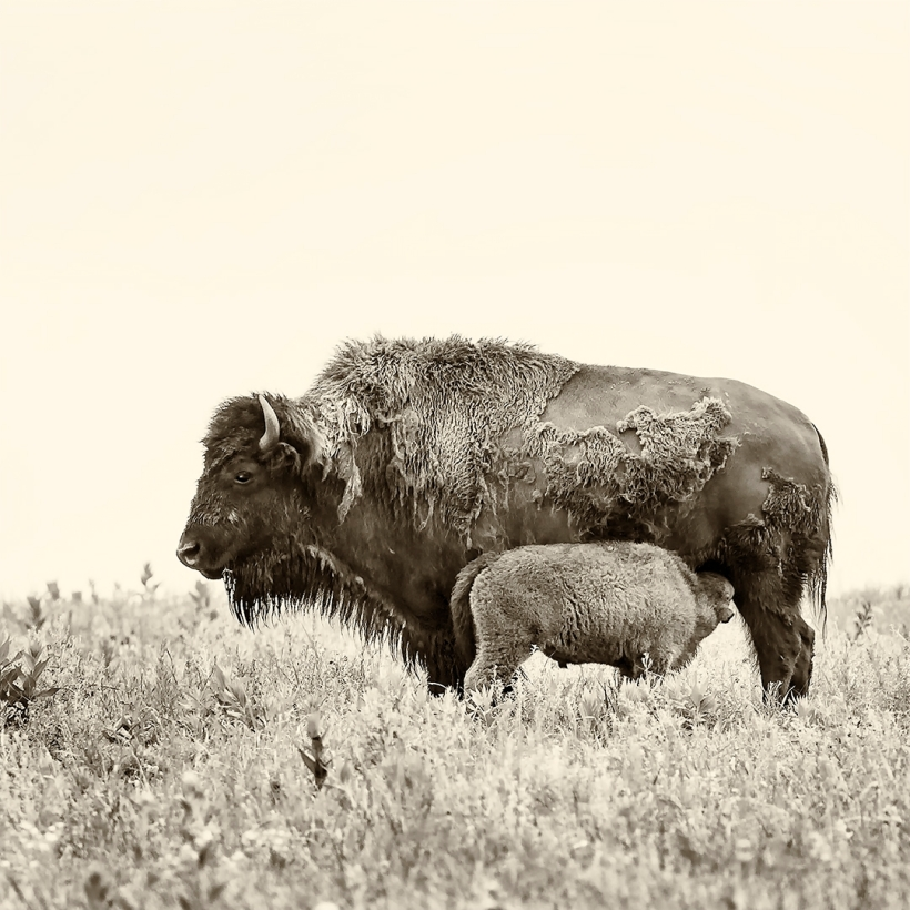 2016 Bison Mother and Calf, Tallgrass Prairie National Preserve, Chase County, KS 2015